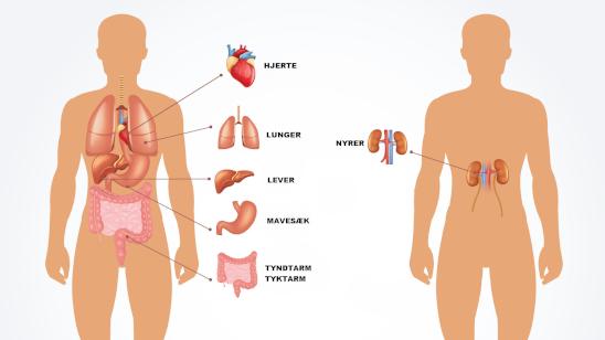 kroppens indre organer